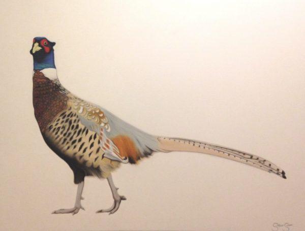 Steve Shaw A pleasant pheasant